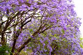Violet Tree Jacaranda, Growing In The Province Of Mpumalanga, South Africa