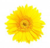 Single Yellow Gerbera Flower