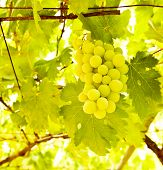 Picture of ripe white grape branch, grape leaves background, tasty sweet fruits, warm sunlight throu