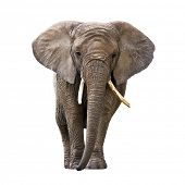 pic of ivory  - Elephant isolated on white - JPG