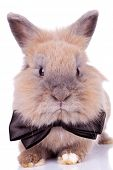 close-up of an adorable rabbit with bow tie looking at the camera, on white background