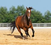 Trakehner red-bay color stallion in motion on arena