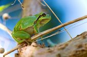Tree frog Hyla arborea in nature