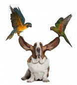 Bleu throated Macaw and Golden capped parakeet pulling up the ears of Basset Hound sitting against w