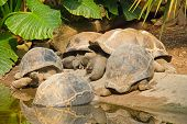 foto of giant lizard  - A group of Galapagos Giant Tortoises  - JPG