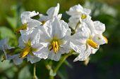 Flor de una raza de patata Raja en el huerto.