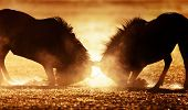 stock photo of battle  - Blue wildebeest dual in dust  - JPG