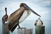 stock photo of sun perch  - Three pelicans sitting and standing on old wooden pier stumps with the ocean in the background on a mainly cloudy day - JPG