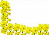 Daffodil Border