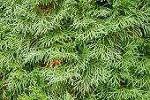 Evergreen thuja .