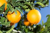 stock photo of valencia-orange  - Trees with orange typical in the province of Valencia Spain