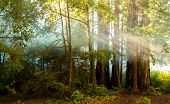 stock photo of redwood forest  - sunshine rays coming through giant redwood forest - JPG