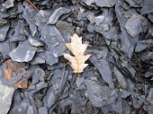 pic of shale  - Autumn leaf on gray shale rock background - JPG