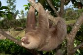 Sloth In Motion
