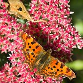 Comma Butterfly Feeding On Sedum Flowers