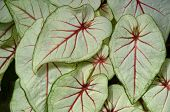 Colorful Elephant Ears Plant