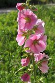 Pink Mallow