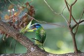 Muller s Barbet,a colorful bird