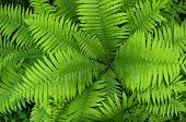 Natural Background Of Green Fern Leaves
