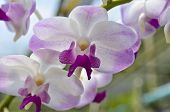 Dendrobium Orchid Hybrids Is White And Pink