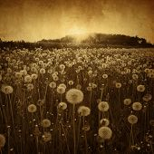 Dandelion field in grunge and retro style.