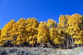 picture of sagebrush  - Aspen tree grove in full Autumn color under deep blue Fall sky sagebrush in foreground - JPG