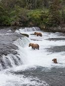Three Brown Bears