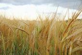 Ripe Wheat Ears On Field Background