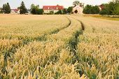 Ripe Wheat Ears With Tractor Tracks On Field Background