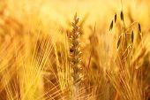 Wheat, Rye, Oats And Ladybug