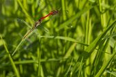 Two Red Dragonflies Mating In Flight