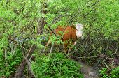 picture of hirsutes  - Cow hidden in a willow bush on a flooded meadow near mountain creek - JPG