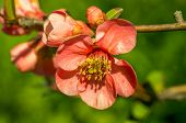 Chaenomeles Flowers