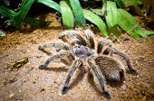 Tarantula Large Spider