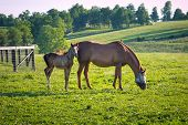 picture of mare foal  - Mare with her foal in pastures of horse farms on sunset - JPG