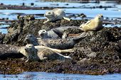 Harbor Seals Hauled Out