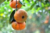 picture of tangerine-tree  - three ripe  tangerines on tree in garden - JPG