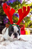 picture of rudolph  - French bulldog with reindeer horns under Christmas tree - JPG