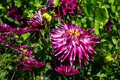 Brilliant Purple Zinnias