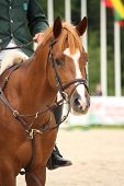 Brown Horse Portrait With Bridle