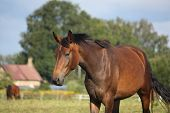 Brown Horse Portrait At The Field In Summer