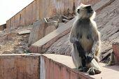Monkey Sitting on Crumbling Stone Wall
