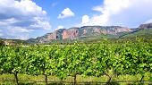 Winery Grapes Vineyard Landscape.