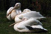 Great white pelicans (Pelecanus onocrotalus).