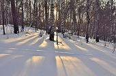 pic of birchwood  - Golden rays of the evening sun and long shadows of birch trees in the snow - JPG