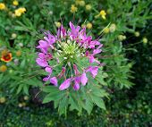 Cleome Hassleriana Or Pink Spider Flower