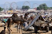 arabian dromedary camels taking part at famous camel fair holiday in hindu town of Pushkar