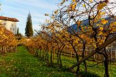 Vineyards of Trentino, Italy, autumn scenics