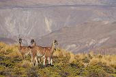 Vicuna in the Altiplano