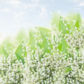 stock photo of lilly  - lilly of the valley  with green leaves close up on blue bokeh background - JPG